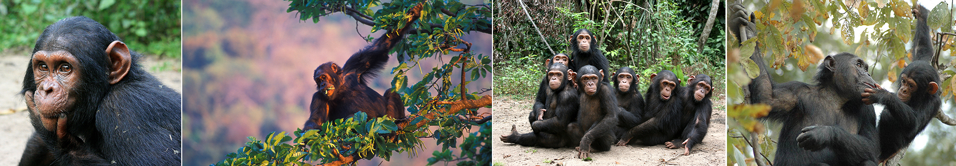 chimp collage 2